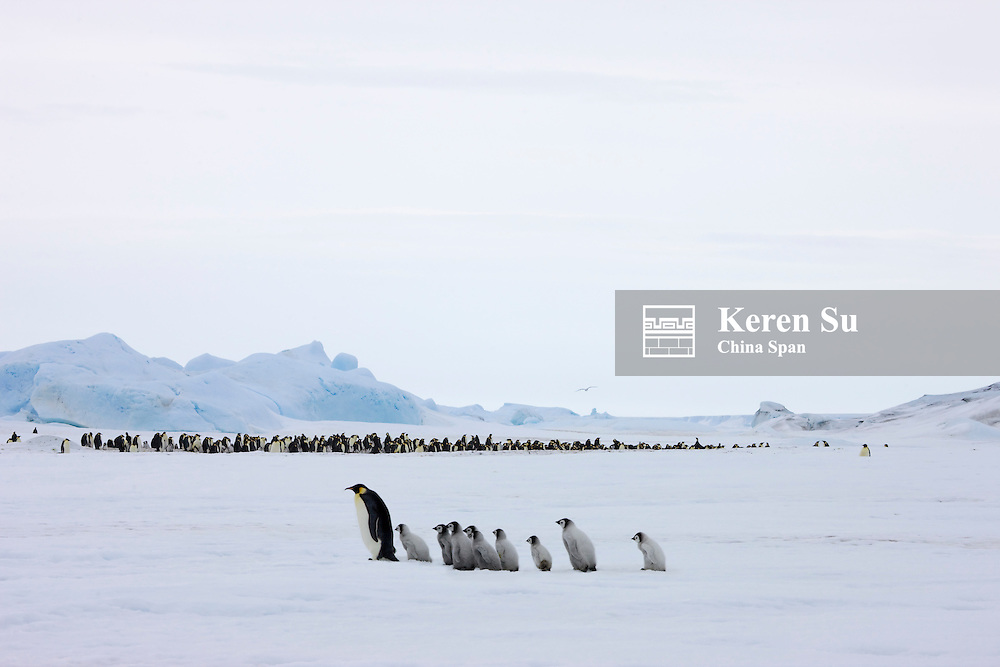 Emperor Penguins parent with chicks on ice, Snow Hill Island, Antarctica