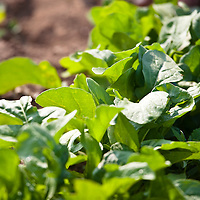 Arugula in a kitchen garden.