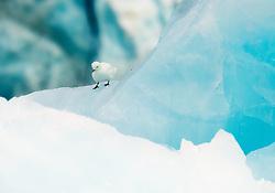 Ivory Gull (Pagophila eburnea) on glacier ice in Spitsbergen, Svalbard