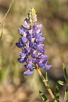 Found in nearly all of the western states and provinces of North America, the silvery lupine is very tolerant of many conditions and can be found in a suprising number of different habitats. This one was photographed at a rather high elevation in Wyoming's Yellowstone National Park.