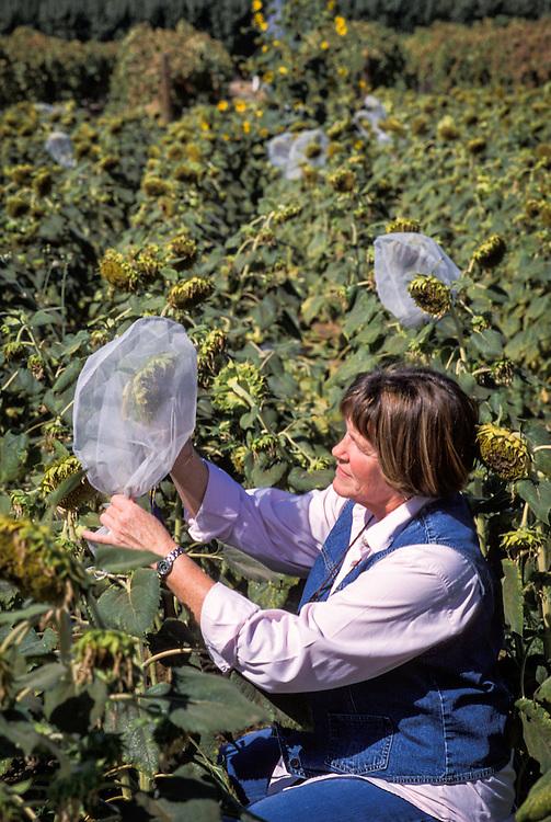 CENTRAL VALLEY, CALIFORNIA - Susan Mallek examines sunflower entomology study at the UC Kearney Ag Center