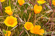 California Poppies at Point Reyes National Seashore. California, USA