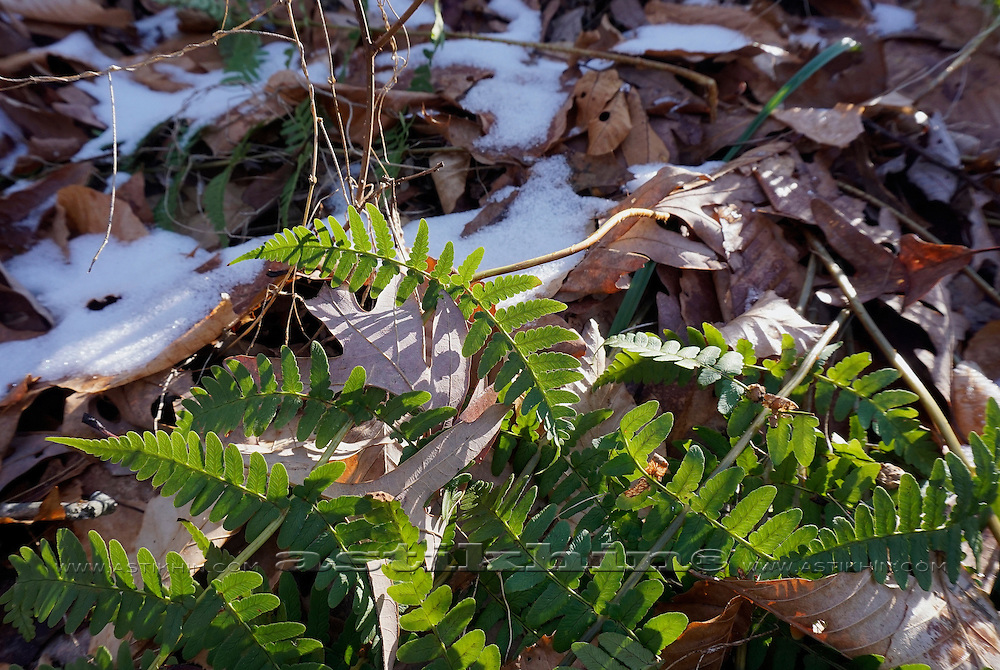 First snow and Fern Plants.