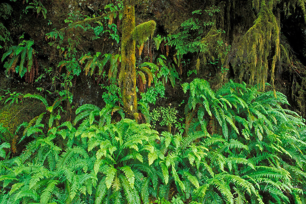 Sword ferns moss-covered western hemlock, Quinault Rain Forest, Olympic National Park, Washington