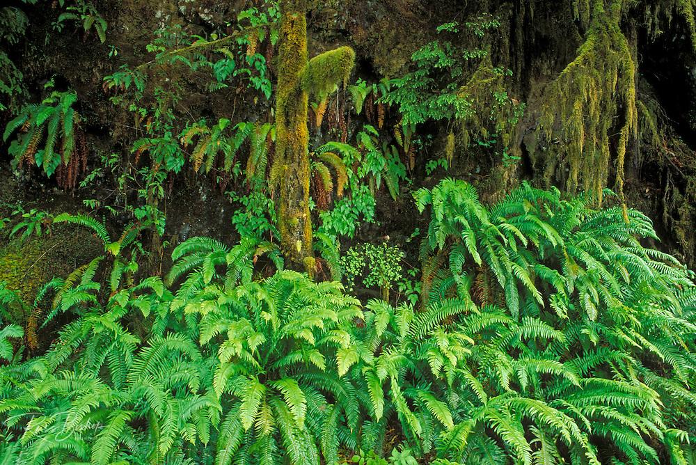 Sword ferns moss-covered western hemlock, Quinault Rain Forest, Olympic National Park, Washington