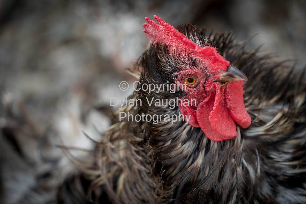 3-8-16<br /> <br /> Evan Woods chickens at his home in Butlerstown Co. Waterford.<br /> Picture Dylan Vaughan