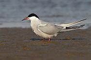 Common Tern - Sterna hirundo - breeding adult