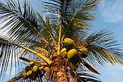 Coconut Palm, Cocos nucifera<br /> BONAIRE, Netherlands Antilles, Caribbean<br /> HABITAT & DISTRIBUTION: Sandy soil and beaches throughout most of the Tropics