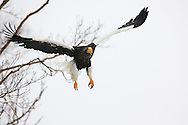 Steller's sea eagle in flight, Hokkaido, Japan