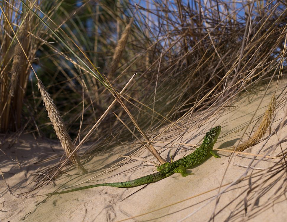 Bassin d'Arcachon - Dune de Pilat - Le lézard ocellé est un reptile que l'on trouve dans les dunes en Aquitaine. C'est une espèce menacée.