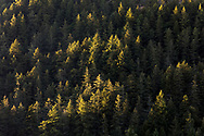 Sunset light hitting just the tops of the evergreen trees on the side of Mount Maxwell below Baynes Peak. Photographed in Burgoyne Bay Provincial Park on Salt Spring Island, British Columbia, Canada.
