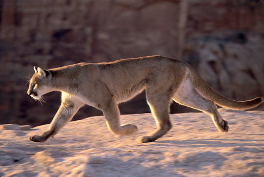 Mountain Lion or Cougar, (Felis concolor) Adult in southern Utah. Red rock country. Captive Animal.