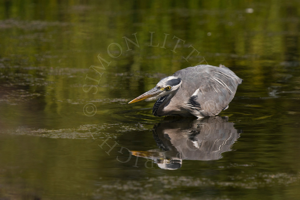 Grey Heron (Ardea cinerea) adult hunting in shallow pond, UK.