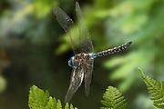 A blue-eyed darner (Rhionaeschna multicolor)in flight in the coastal mountains of Oregon. Please note: This image has been digitally repaired. The dragonfly was on the very edge of the frame and the background was expanded to allow a more centered framing. The flight attitude of the insect has not been altered or changed.