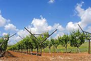 Israel, Negev, Lachish Region, Vineyard,
