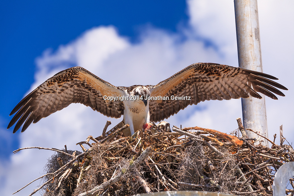 A pair of Ospreys (Pandion haliaetus), one of whom is eating a piece of fish, in their nest in the Flamingo section of Everglades National Park, Florida.<br />