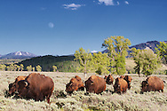 A herd of bison moving through the sage of Grand Teton National Park with a rising moon above.