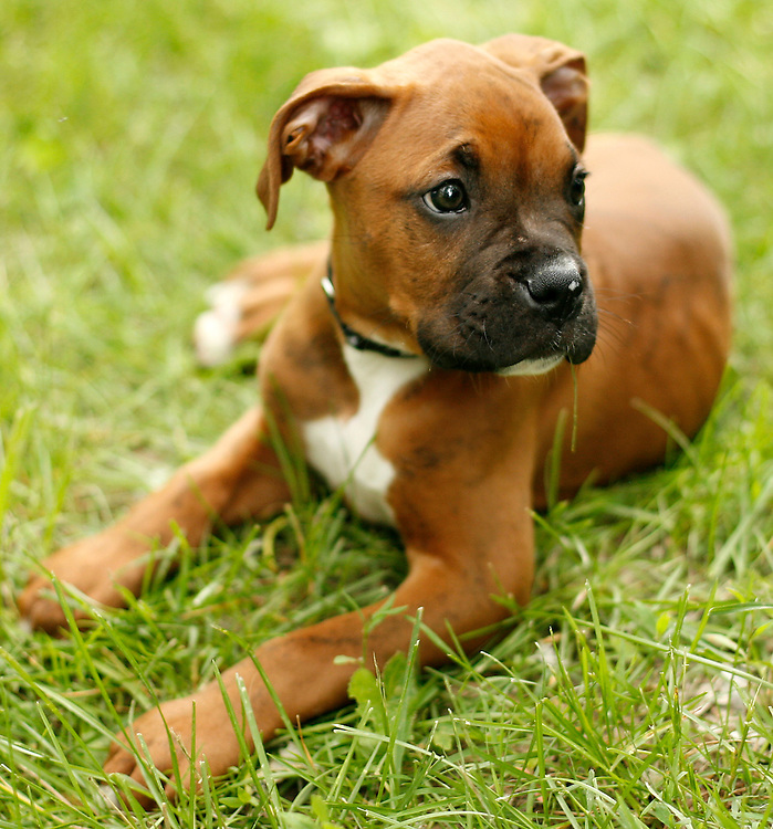8 Week-Old Boxer Puppy