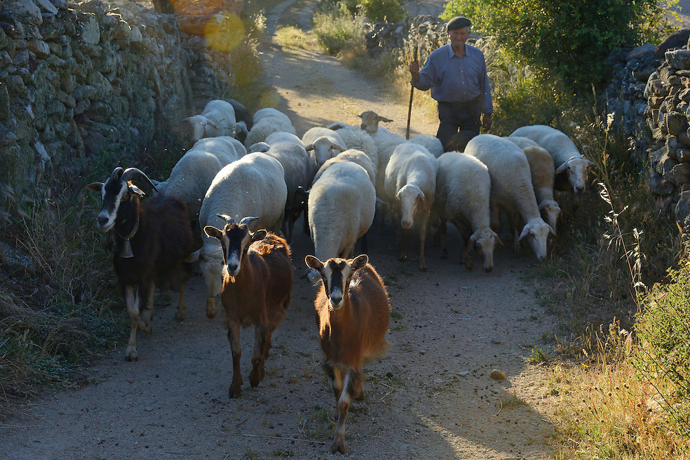 Shepherd with his sheep, Faia Brava reserve, Coa valley, Portugal, Western Iberia rewilding area