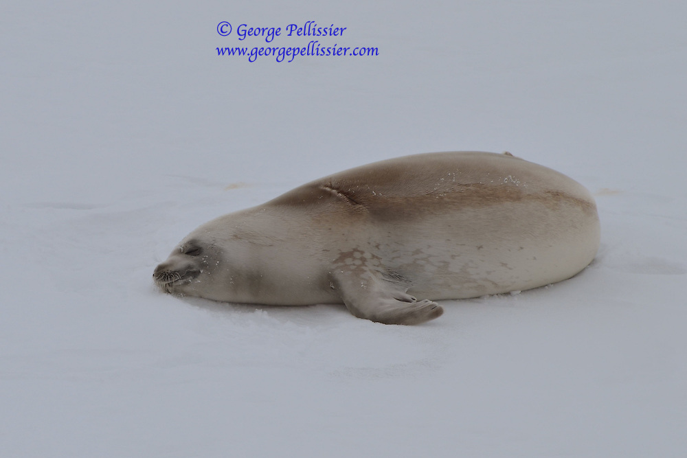 A Weddell Seal (Leptonychotes weddellii) sleeping in McMurdo Sound, Antarctica.