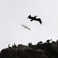 Pelicans soar around Moro Rock, Moro Bay, California