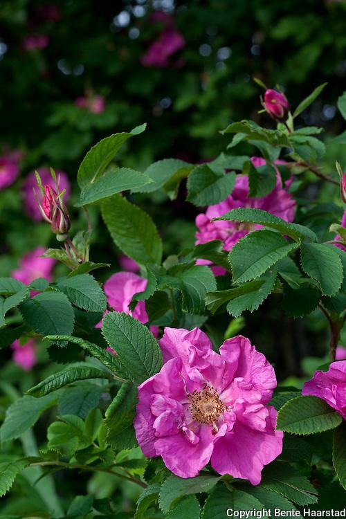 Rosa rugosa, forvillet bestand, Sør-Trøndelag.