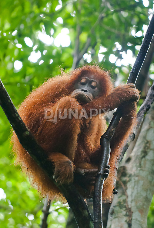 A Sumatran orangutan, wet with rain, hunkers down amongst lianas and curls up a lower lip in apparent dejection.