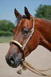 Quarter Horse<br /> Photo © Hippo Foto