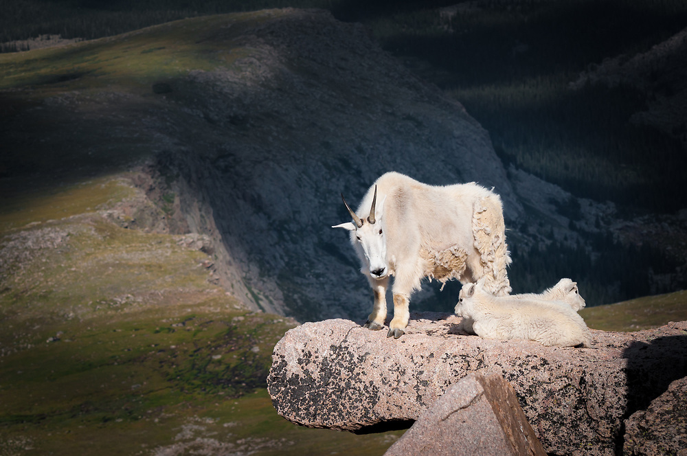 This is a picture of a mother mountain goat and her young on a cliff near Mount Evans in Colorado.<br /> <br /> Camera <br /> NIKON D5000<br /> Lens <br /> 70.0-300.0 mm f/4.5-5.6<br /> Focal Length <br /> 82<br /> Shutter Speed <br /> 1/800<br /> Aperture <br /> 7.1<br /> ISO <br /> 200