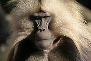 Africa, Ethiopia, Simien mountains, male Gelada monkey Theropithecus gelada