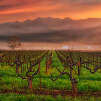 Sunrise over fog and vineyards, Napa Valley, California.