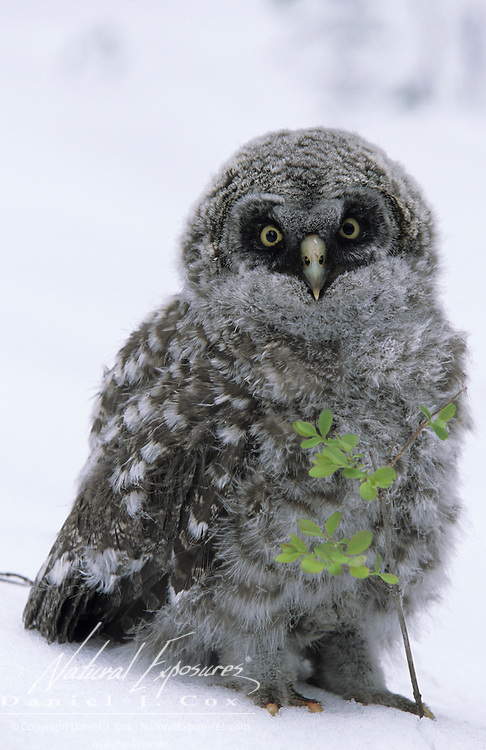 Great Gray Owl (Strix nebulosa) fledged chick out of the nest during a late spring snowstorm n Montana.
