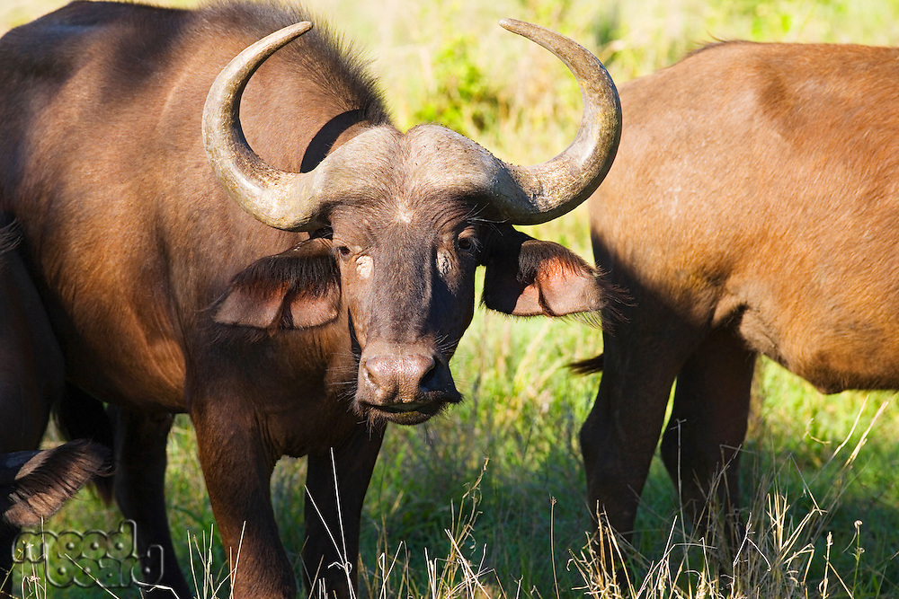 African buffaloes (Syncerus caffer) standing in field close-up