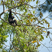 Pileated Gibbon (Hylobates pileatus) adult male in Khao Yai national park, Thailand