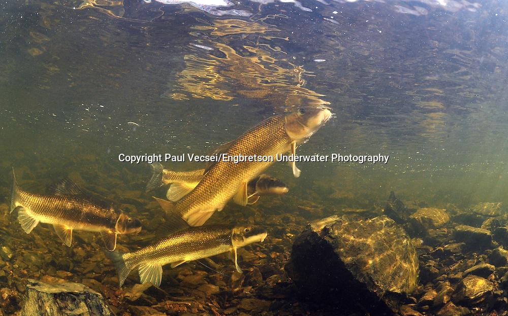White Sucker<br /> <br /> Paul Vecsei/Engbretson Underwater Photography