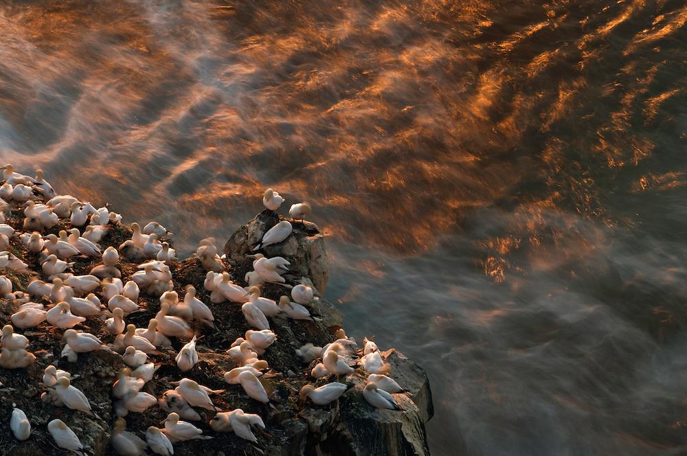 24.07.2008.Northern gannet  (Morus bassanus) colony.Seabird cliff.Langanes peninsula, Iceland