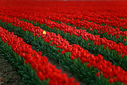Rows of tulip blossoms in field at tulip farm, Skagit Valley, near Mt. Vernon, Washington