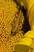 Grasshopper on Sunflower