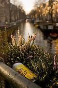 Beercan and heather in a planting box on canal, Amsterdam, left over from Saturday night