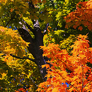 """Those Old Maples""<br />
