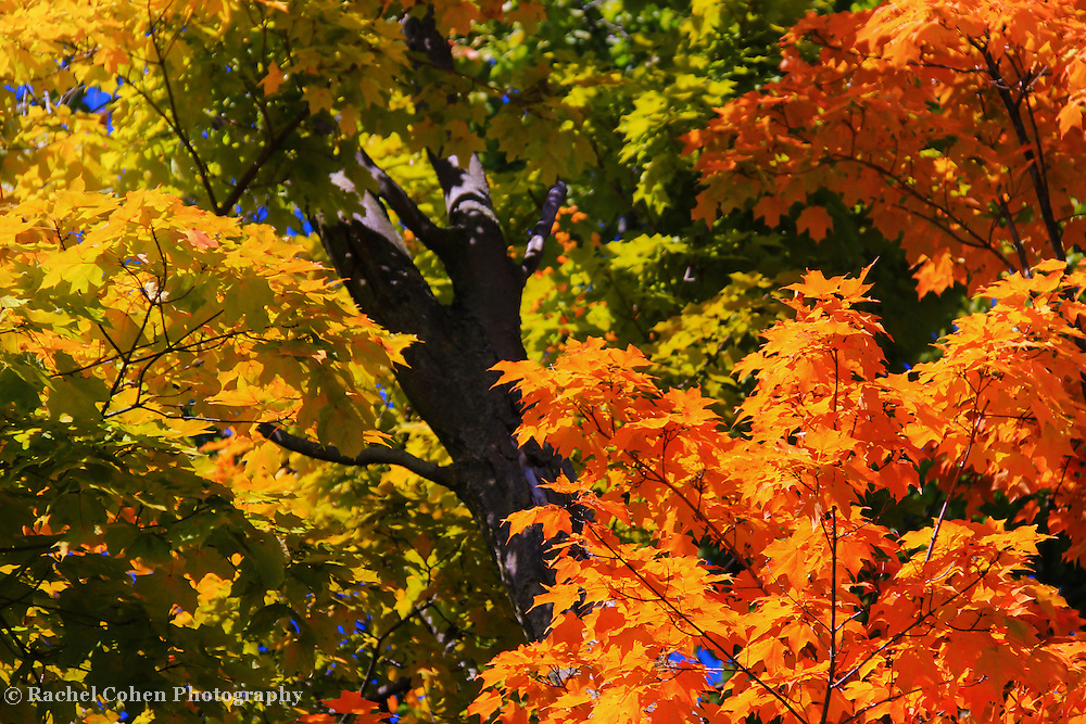 &quot;Those Old Maples&quot;<br /> <br /> Beautiful fall color on large Maple trees!<br /> <br /> Fall Foliage by Rachel Cohen