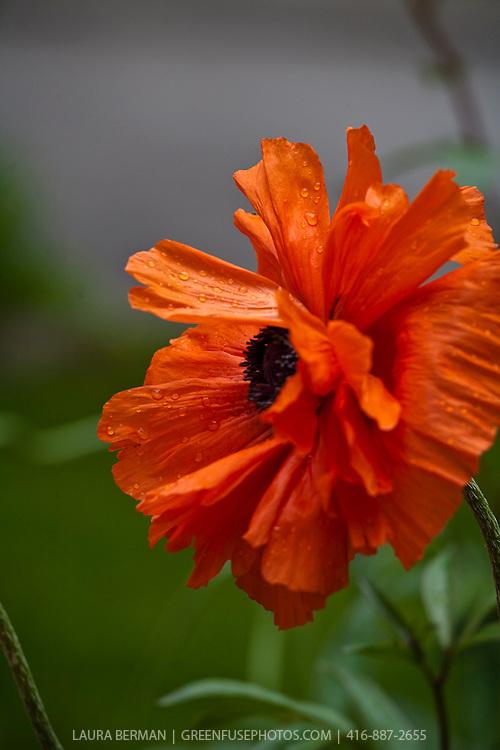The Oriental poppy (Papaver orientale) is a perennial poppy of the genus Papaver.