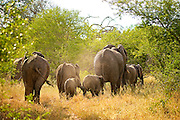 A family of African Elephants walk into the distance through bushes in the soft afternoon light.