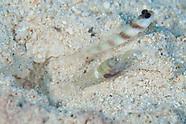 Amblyeleotris steinitzi (Steintz Shrimpgoby)