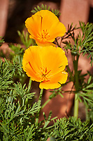 California Poppy. Image taken with a Nikon N1V3 camera and 70-300 VR lens (ISO 180, 183 mm, f/5.6, 1/1000 sec).