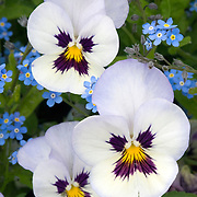 Pansies & Forget-Me-Nots