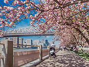 Roosevelt Island, Cherry trees
