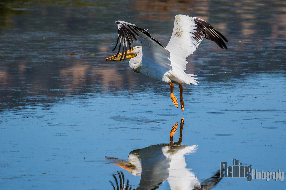 White pelican taking off from a pond in the Las Galinas Valley, Marin county, California.