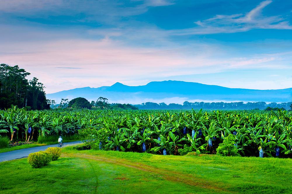 Early morning worker biking through a banana plantation in Puerto Viejo de Sarapiqui. Costa Rica.  The volcanic mountain range of the Cordillera Central provides a dramatic background.