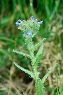 BUGLOSS Anchusa arvensis (Boraginaceae) Height to 50cm<br /> Roughly hairy annual, found on disturbed and often sandy soils. FLOWERS are 5-6mm across and blue; borne in clusters (May-Sep). FRUITS are egg-shaped nutlets. LEAVES are narrow, with wavy margins; lowers are stalked, upper ones clasp the stem. STATUS-Widespread and locally common in E England; becoming scarcer elsewhere.